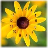 Bloem met Fibonacci-aantal blaadjes