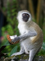 Een aap met een kokosnoot