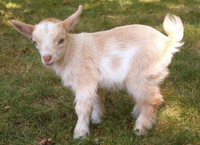 Niemand wil de geit - zelfs niet als hij extreem schattig is.